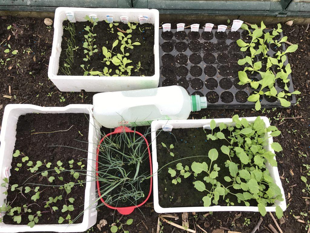 Gemüsejungpflanzen im Gewächshaus