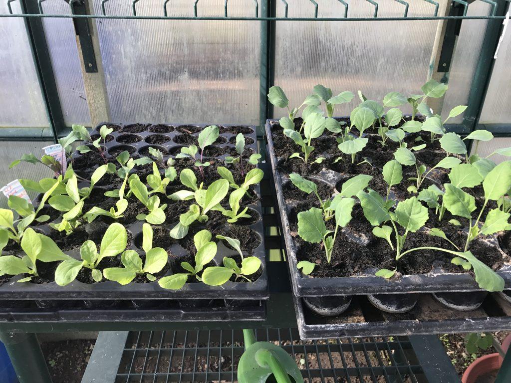 verschiedene Salat und Kohlpflanzen