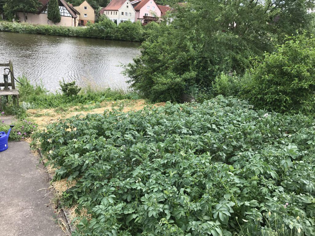 Kartoffelpflanzen im Weihergarten