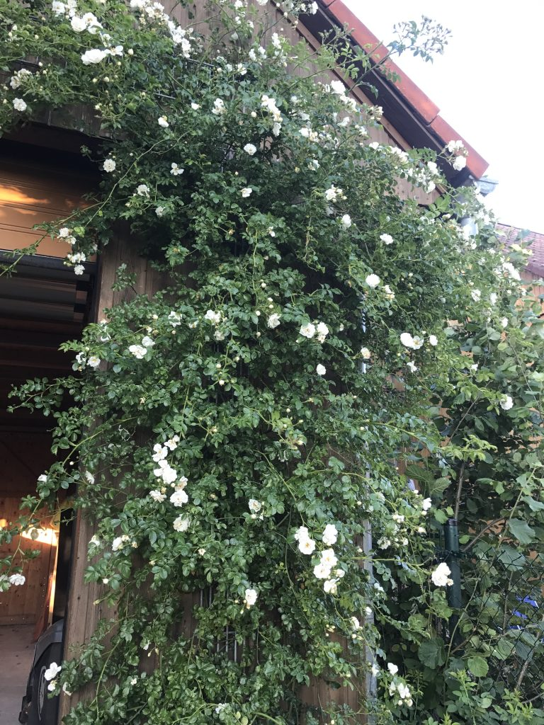 Ramblerrose Snowflake an der Scheunenwand
