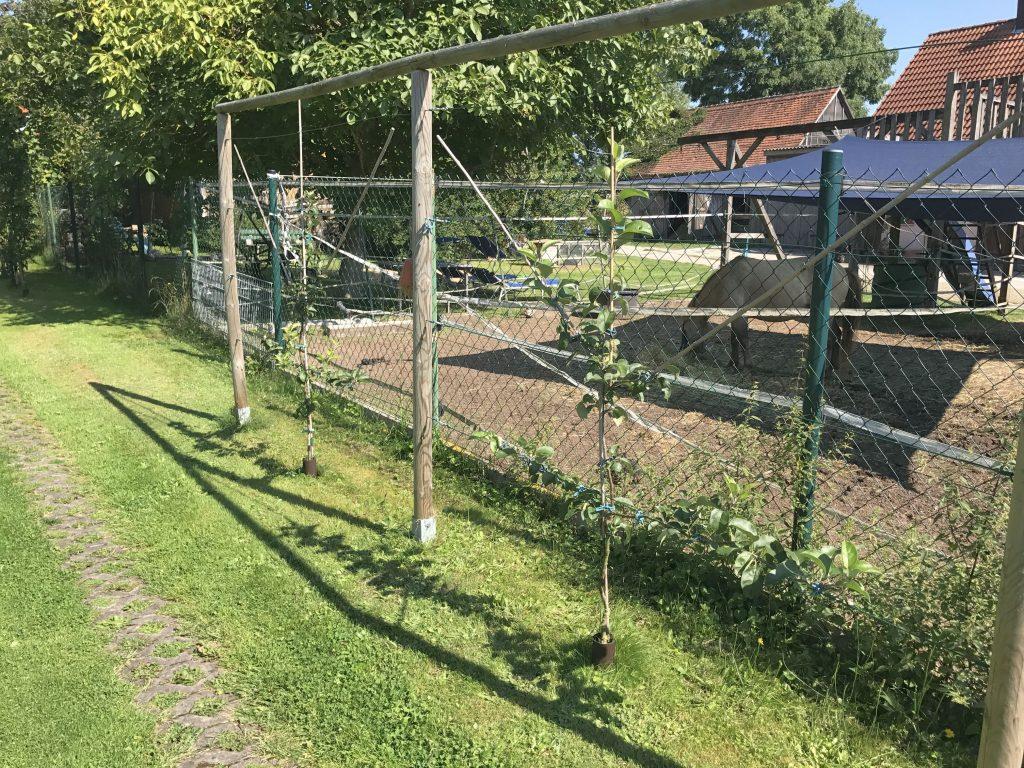 Apfelbäume als Spalier erzogen