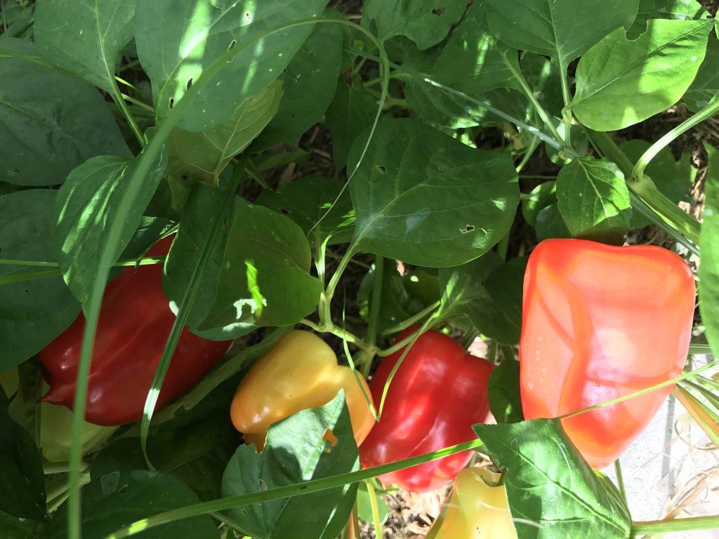 Paprika reifen im Gewächshaus