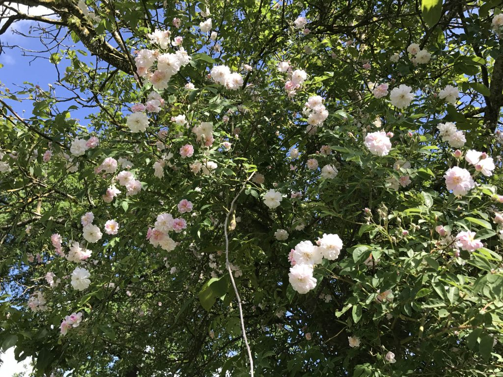 Ramblerrose Pauls Himalayan Musk im Walnußbaum erblüht