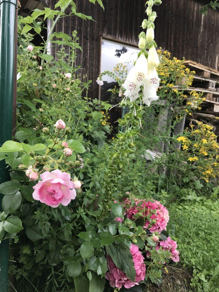 Rose, Hortensie, Fingerhut und Johanniskraut in einer Ecke im Gemüsegarten